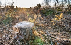 Old pine tree stub illuminated by sunset. Open space in forest area where tree branches left everywhere after industrial forest cut this winter. Swedish forestry - modern kind of modern industry. Sun.