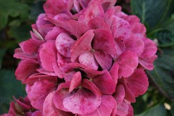 Old pink hydrangea flower blooming in garden. Beautiful old hydrangeas petals changed colour to purple pink, pale fuchsia with natural brown aging spots and blurry green bush leaves in background.