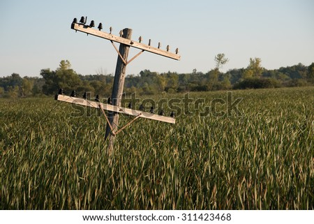 Old power line or telephone line pole tilting over in wetland filled with cattails.  The lines cling to the antique insulators, but are draped on the ground.