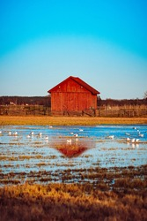 Old red barn and a flooded field with a lot of birds