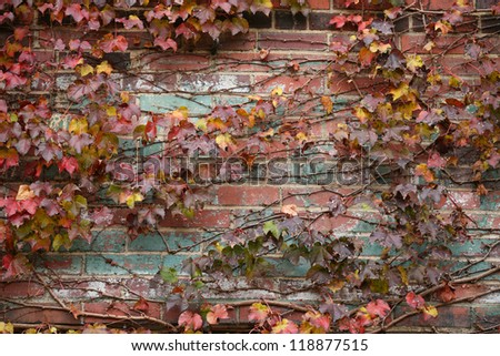 old red brick wall texture background covered in leaves and Ivy
