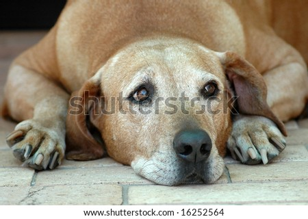 Old Rhodesian Ridgeback hound dog with sad expression in white face