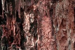 Old rotten wood alder. Old weathered mouldering tree. Weathered tree destruction. Background or texture. Decay of wood - original natural texture alder.