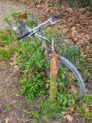 Old rusty bicycle overgrown with ivy.