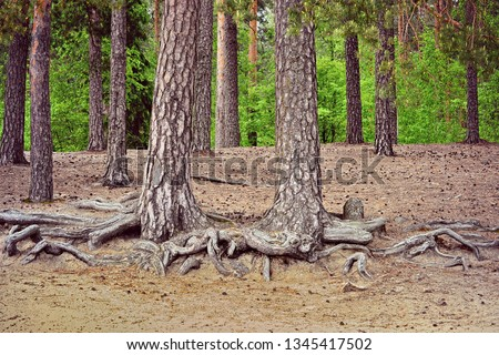 Old Scots pine trees, Pinus sylvestris  on the beach. Their exposed roots are caused by erosion. Erosion is a process where natural forces like water, wind, ice, and gravity wear away rocks and soil.  #1345417502