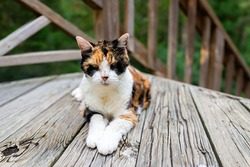 Old senior calico cat lying down on wooden deck terrace patio in outdoor garden of house on floor looking at camera