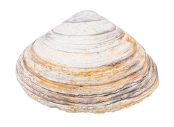 old shabby shell of clam isolated on white background