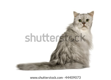 Old Silver Persian cat, 12 years old, sitting in front of white background, studio shot and looking back