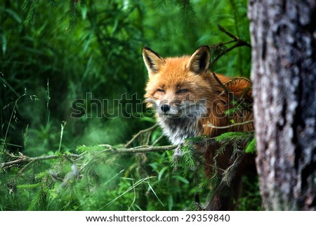 old smart fox hiding in a forest