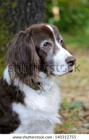 Old Springer Spaniel Dog