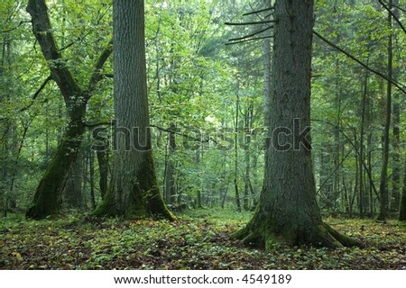 Old spruce, oak and hornbeam in natural summer forest