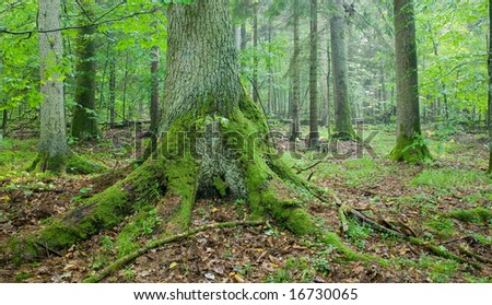 Old spruce tree with big roots in summertime forest