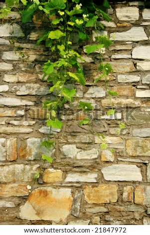 Old stone wall with branches of grapes