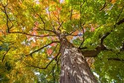 Old Sugar Maple (Acer saccharum) in autumn