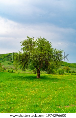 old sycamore pear tree in nature