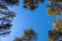 Old tall evergreen pine trees, view from bottom up, rays of  sun making their way through  branches on blue sky. Up view of forest and sunlight effect.