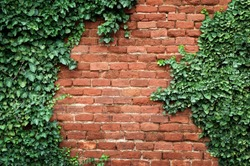 Old Texture brick wall, background, detailed pattern covered in ivy