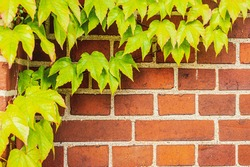 Old texture brick wall, background, detailed pattern covered in ivy. Ivy on a brick wall