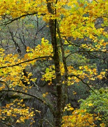 Old thin tree with bright yellow colors.  Autumn colors in Peneda Geres National Park, Portugal