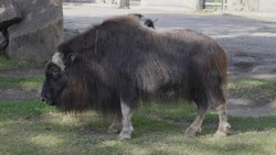 Old Tibetan yak with long black wool and big horns goes along a mountain pasture.