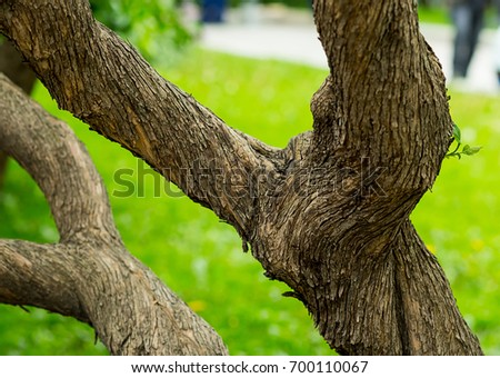 Old tree branched with twisted bark on a green background #700110067