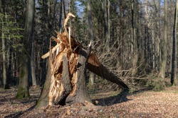 Old tree broken by the wind in the forest. Damage caused by storms in the forest area. Season of the spring.