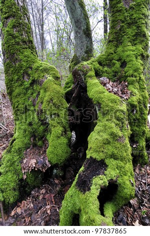 old tree covered with moss
