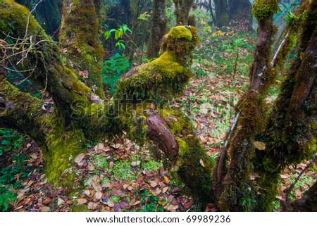 old tree covered with moss in primeval forest (Doi Inthanon National Park), Thailand
