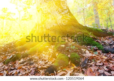 old tree in a rays of sun