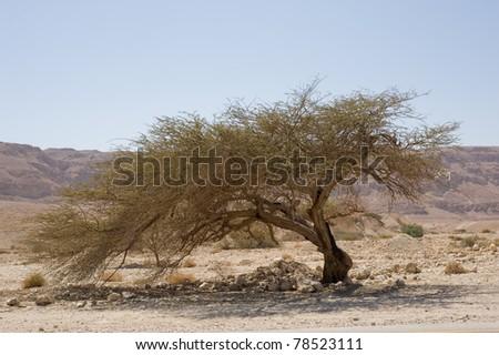 old tree in Judean desert