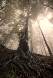 old tree roots in a forest with sun shining through fog