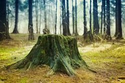 Old tree stump covered with moss in the coniferous forest, beautiful landscape.