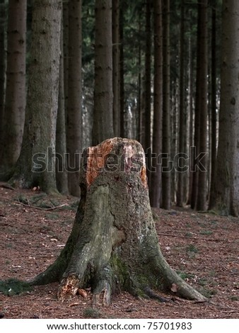 Old tree stump in the spruce forest