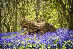 Old Tree Stump Surrounded By Bluebells
