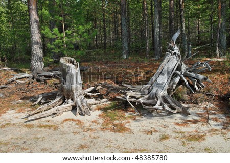 Old tree stumps on the taiga glade
