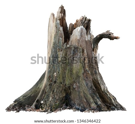 Old tree trunk. Dead tree isolated on white background. Barn tree. Stump isolated. #1346346422