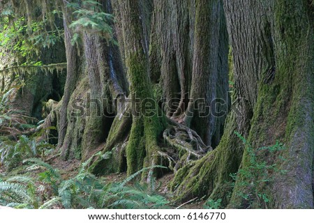 Old trees growing in line on former nursing log, Hoh Rainforest, Olympic National Park