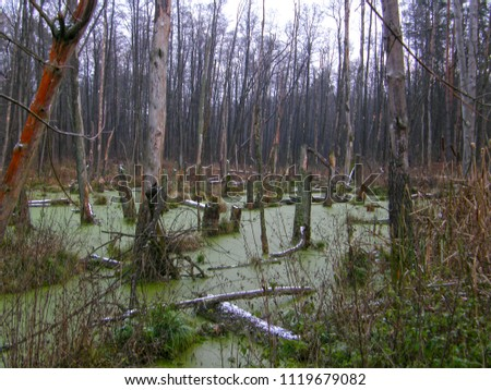 Old trees in a forest swamp