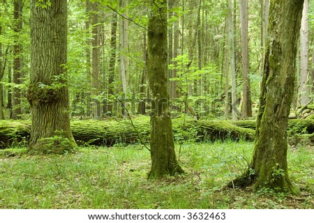 Old trees in the forest with old oak laying on ground