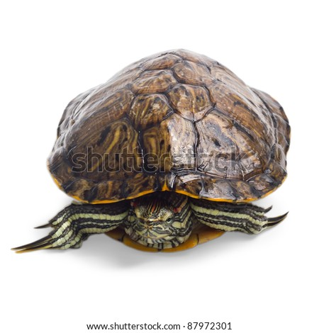 old turtle isolated on white background