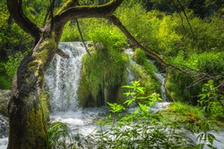 Old twisted tree leaning over waterfall and cascades of water in green lush forest, Plitvice Lakes National Park UNESCO World Heritage, Croatia