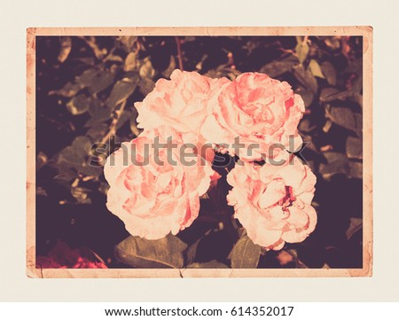 Old vintage card with a bouquet of beautiful pink roses on white isolated background.
