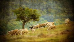 old vintage pastoral landscape with herd of sheep near bulgarian small village