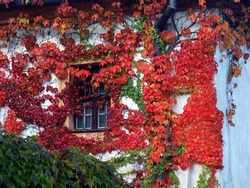 Old wall and window covered with red green and orange boston ivy leaves parthenocissus tricuspidata veitchii