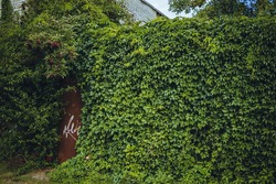 Old wall overgrown with vines, ivy growin on abandoned fence in old derelict city