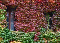 Old wall with two windows covered with red green and orange boston ivy leaves parthenocissus tricuspidata veitchii