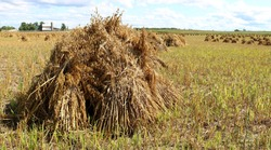 Old way of bindering and stooking sheaves of grain at harvest to dry in field done by Mennonites