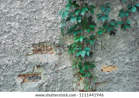 Vine growing on a stucco wall Images and Stock Photos - Avopix com