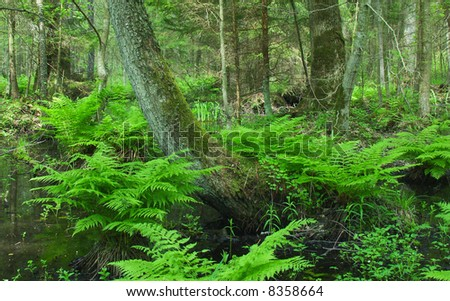 Old wet forest in the summer sunny day - stock photo