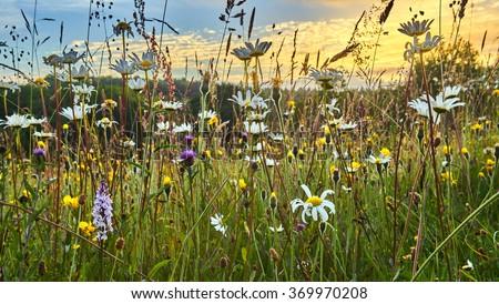 Old wild flower hay meadow in summer